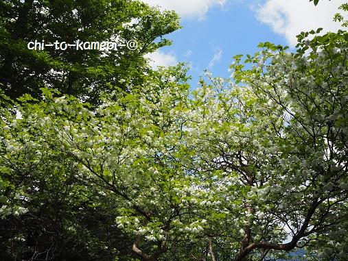 P6021550シロヤシオ.jpg
